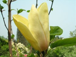 Magnolia Sunspire