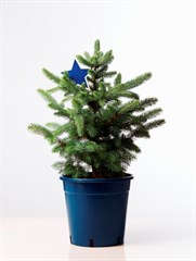 Picea pungens Blue Star w Label 250mm Small (2)