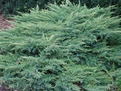 Juniperus x media Daub's Frosted