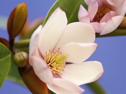 ATI Photo Fairy Magnolia BLUSH_9547