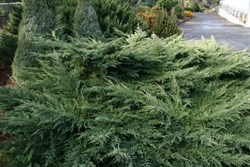 Juniperus x media Reid's Gold Drift